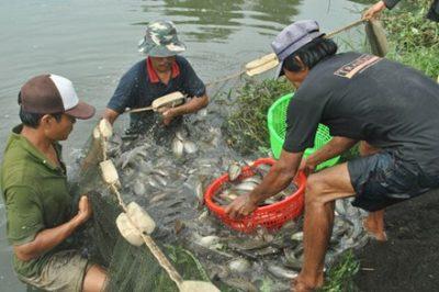 Mặn mà cá bổi U Minh Cà Mau