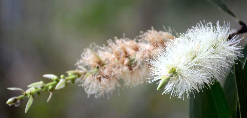Hoa tràm Rừng U Minh hạ Cà Mau